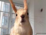 红腹雪地,魔王松鼠,迷你刺猬蜜袋鼯,飞鼠