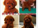 佛山泰迪熊犬一只多少钱佛山禅城哪里有卖纯种泰迪熊犬
