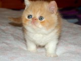 活泼可爱的加菲猫找主人了 公母都有喜欢抱回家