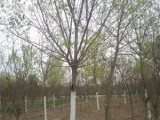 张家界15公分紫叶李基地专业种植苗木