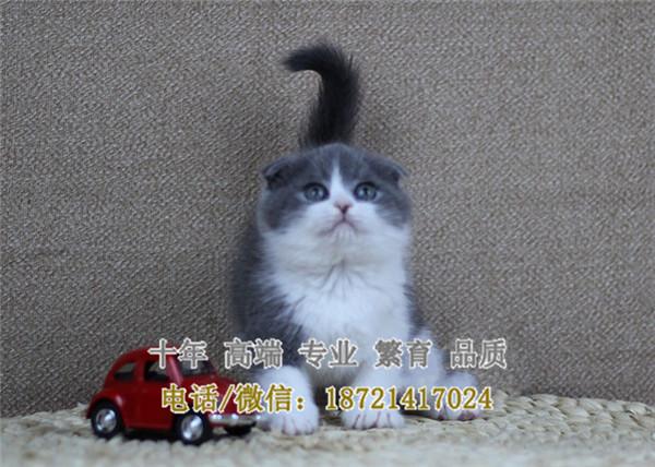 英短蓝白猫咪英国短毛猫蓝白包子脸英短蓝猫宠物猫蓝白