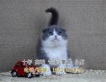 藍貓寶寶三個半月活潑健康可上門挑選