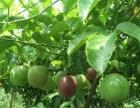 自家种植的百香果,望各大批发商电话咨询