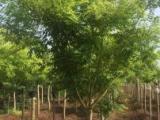 银杏红枫法桐国槐园林花卉绿化苗木销售