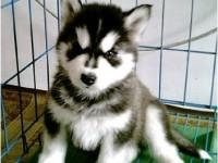 深圳出售纯种阿拉斯加幼犬雪橇犬阿拉斯加熊版巨型