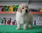 银川纯种金毛价格 银川哪里能买到纯种金毛犬