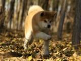 狗场里的秋田犬能不能养活 价格贵不贵