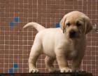 纯种拉布拉多 赛级拉布拉多 买拉布拉多犬 就来北京家福犬舍