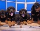 罗威纳犬出售幼犬大型看护犬赛级双血统签订协议