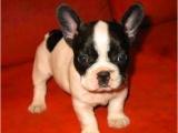 出售纯种法国斗牛犬幼犬活体法斗幼犬英国斗牛犬幼犬斗牛犬宠物狗