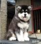 哪里有卖阿拉斯加 最便宜阿拉斯加多少钱哪里有卖阿拉斯加雪橇犬