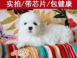 广州哪里买比熊犬好 广州哪里买狗靠谱 广州正规犬舍 宠之恋