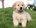 纯种金毛犬幼犬宠物狗狗家养美系金毛狗黄金巡回猎犬