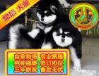 三年联保 终身保纯种 阿拉斯加犬 签协议可见父母