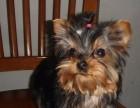 北京国泰宠物狗场出售纯种约克夏犬2000到20000元