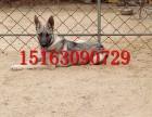 什么是狼青犬,狼狗犬价格,怎么驯养狼青犬,血统猎犬出售