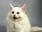 南宁【鑫月猫舍】有美短,蓝猫,加菲猫,银渐层出售