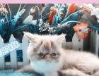 专业大型猫繁育加菲猫宝宝接受预定保健康