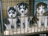 上海哪里有卖哈士奇犬 上海纯种哈士奇犬幼犬一只多少钱