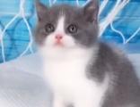 純種大臉精致藍貓藍白出售 活潑可愛健康保障 疫苗已做