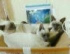 蓝重点色系暹罗猫1250元