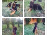 宠物狗 优良血统 纯种拉布拉多犬 健康 活泼 已疫苗驱虫