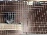 4个多月标灰龙猫DD带笼转让