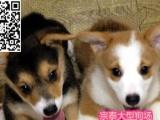 惠州买狗惠州哪里有出售短腿柯基