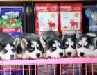 重庆本地出售纯种哈士奇犬 上门六折 当面挑选 包退换 签协议