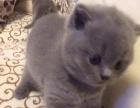 家庭繁殖品种猫咪