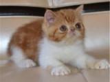 广东广州黄白加菲猫包邮出售