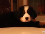 佛山买伯恩山到哪里买纯种伯恩山多少钱一只幼犬