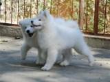 出售纯种萨摩耶幼犬品相好健康有保障 可签购犬协议