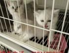 专业繁殖英国短毛猫 蓝猫 健康纯种可签订质保协议