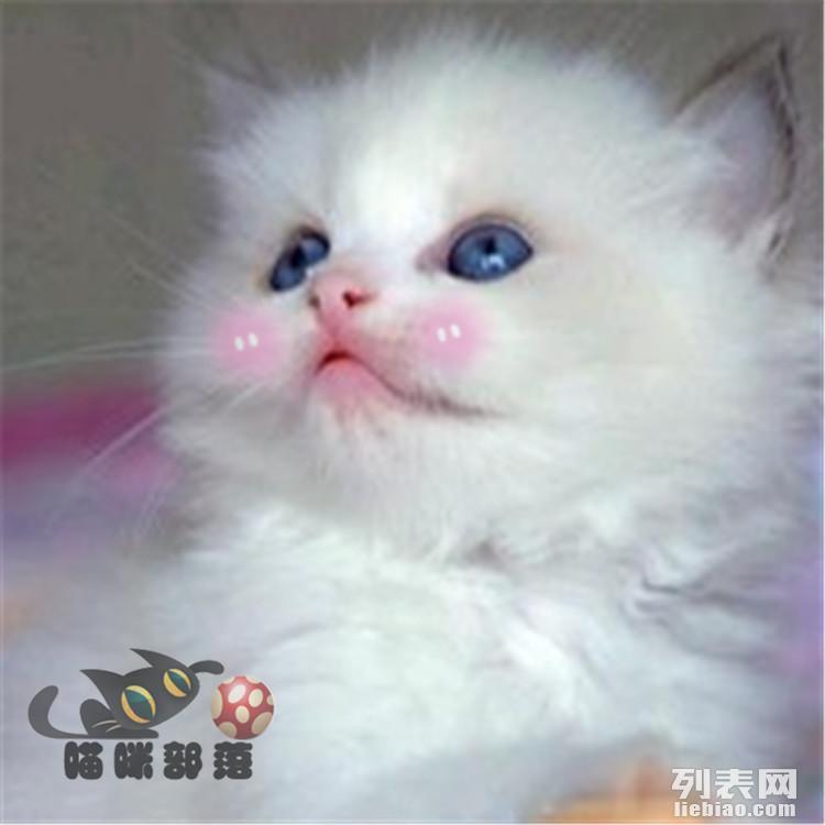 布偶猫 蓝双布偶重点色布偶幼猫双色奶油色海豹色宠物