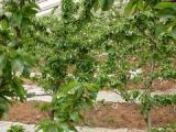一边倒果树研究所专注樱桃苗批发,一边倒技术