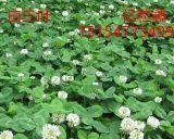 阿克苏草坪草籽类有哪些