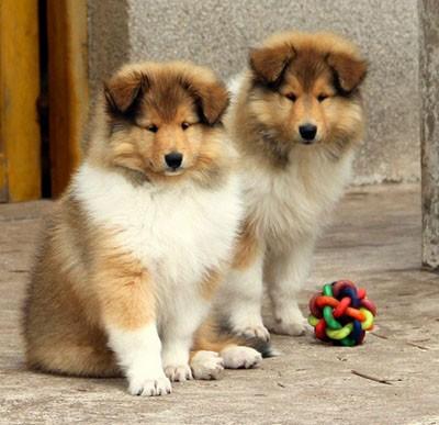 纯种苏格兰牧羊犬 两色三色苏牧统雕色苏牧犬正规狗场