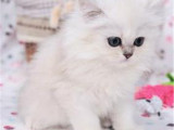廣東廣州高顏值金吉拉貓怎么賣