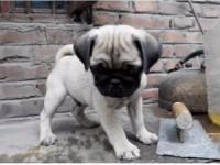 大眼睛螺丝尾纯正鹰版满脸褶皱巴哥幼犬出售可送货上门
