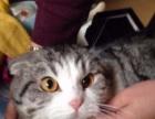 2岁种公CFA起司猫粉爪粉鼻八字脸高白苏格兰折耳猫