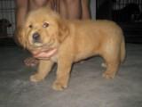 佛山金毛犬 长期繁殖宠物级金毛 双血统金毛 包健康
