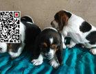 哪里出售巴吉度犬 纯种巴吉度犬多少钱