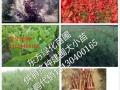 大连速生法桐/美国红枫/玉兰/柳树/国王枫/五角枫/复叶槭