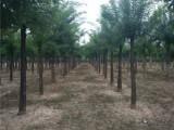 东营40公分合欢树批发厂家在