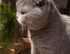 英短蓝猫,折耳立耳公母均有