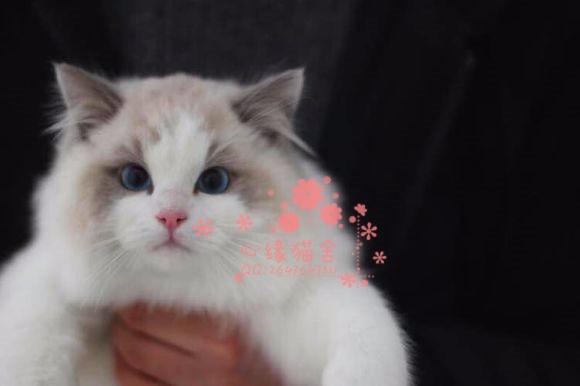 兰州哪里有卖布偶猫的较便宜多少钱一只