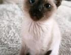 出售纯种暹罗猫公的均有 幼崽2-3个月