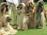 自家犬舍繁殖纯种阿富汗犬公母都有欢迎上门选爱犬及品鉴父母品质