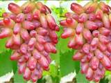 优质葡萄苗出售(新品种量大从优)
